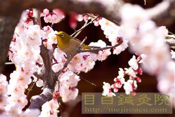 20120320湯島天神の梅とメジロ5