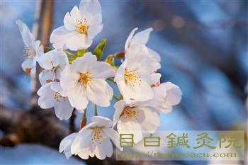 20120404桜2