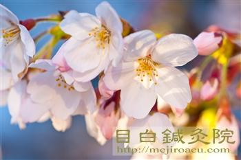 20120404桜1