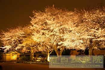 20120406自由学園夜桜2