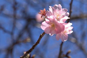 2012河津桜開花!河津桜が咲きました!