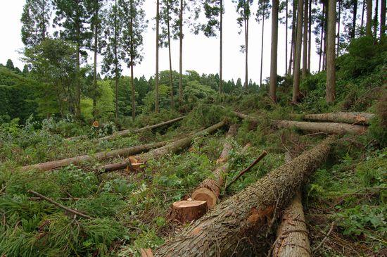 ログ材伐採中