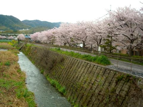 水無瀬川の桜