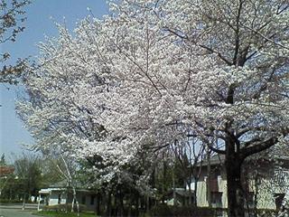 若里公園の桜1