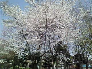 若里公園の桜2