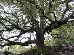 青蓮院の木