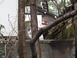 京都のネコ