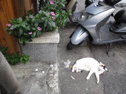 台北でくつろぐネコ