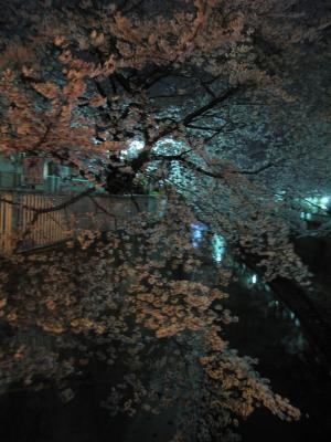 桜_2011_2