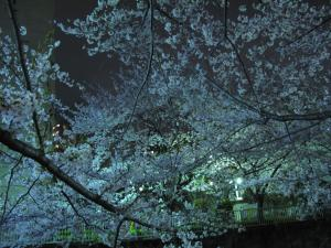 桜_2011_1