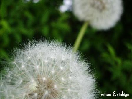 tanpopo_20090127124552.jpg