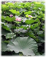上野の蓮の花