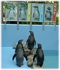 お散歩ペンギンin島根