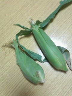 トウモロコシの実