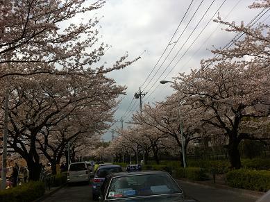 IKEA桜
