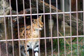動物園のネコ科写真1