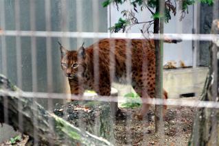 動物園のネコ科写真4
