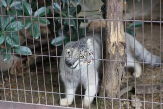 動物園のネコ科写真5