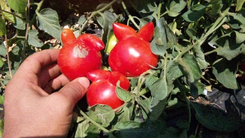 うさちゃんトマト