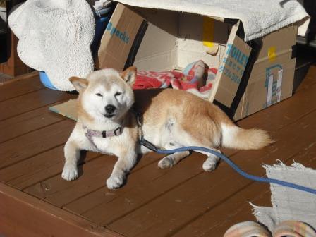 ウッドデッキと犬1