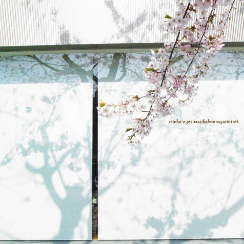 影桜(しろ)
