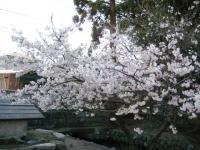 浦渡神社の彼岸桜1