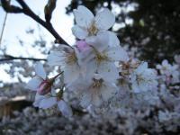 浦渡神社の彼岸桜2