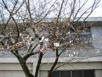 09.3.23 角野小学校の桜
