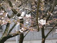 角野小学校の桜2