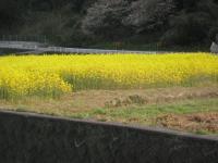 09年菜の花3