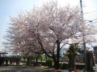 09.4.8 泉川小学校入学式で満開の桜