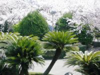 09.4.8 新居浜東高校の桜1