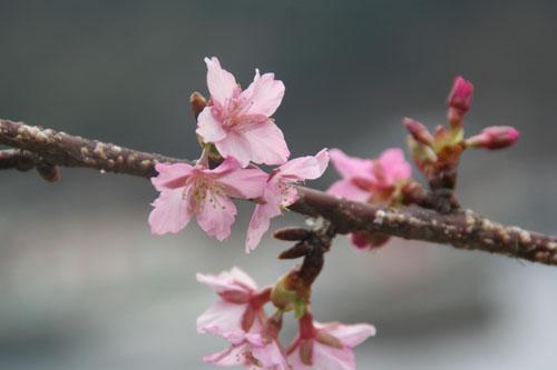 河津桜H.24.2.25 028