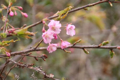 河津桜H.24.2.25 037