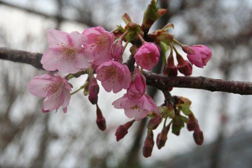 河津桜H.24.2.25 050