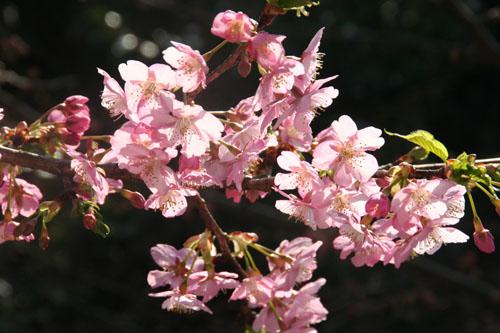 河津桜h.24.3.10 019