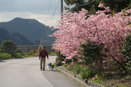 河津桜h.24.3.10 035