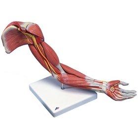 腕筋肉構成