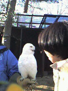 白フクロウ3