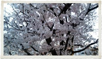 小学校の桜2