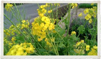 散歩菜の花