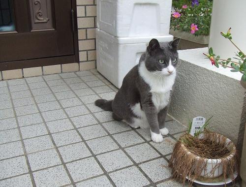 1枯れた猫草