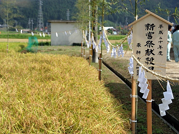 献穀米抜穂式-1