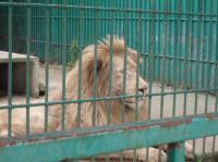 白ライオン
