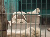 白ライオン2