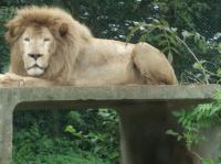 ライオン2