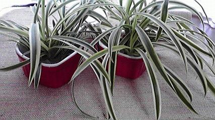 おすそわけの観葉植物