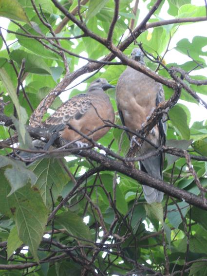 二羽の鳩楮の木