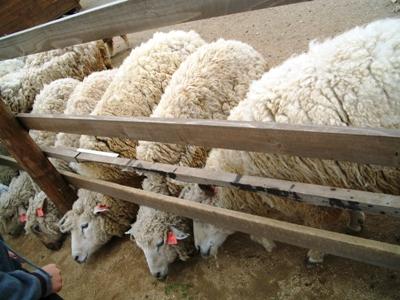 羊・・・・・・