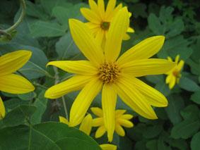 9.25黄色花5